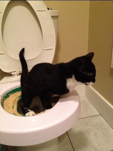 Tuxedo kitten learning how to use toilet