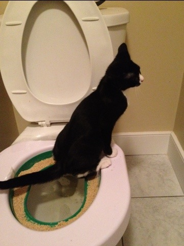 Tuxedo kitten learning how to use toilet