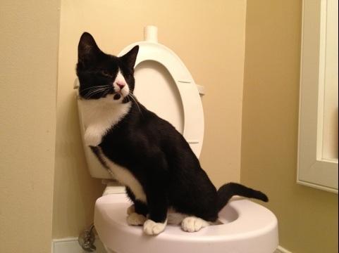 Tuxedo cat uses toilet