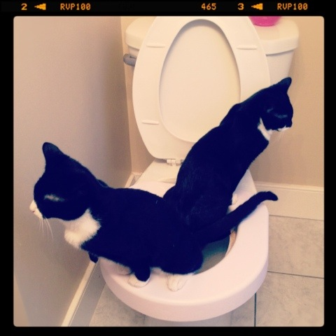 Two cats using the same toilet at the same time