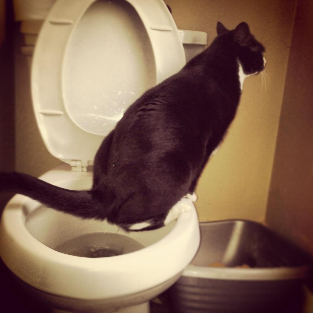 Tuxedo cat using toilet