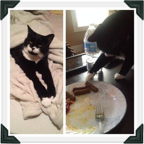 Two photos: one tuxedo cat in bed; the other pawing at a sausage on a plate