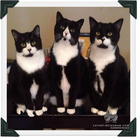TuxedoTrio featured on CatsofInstagram