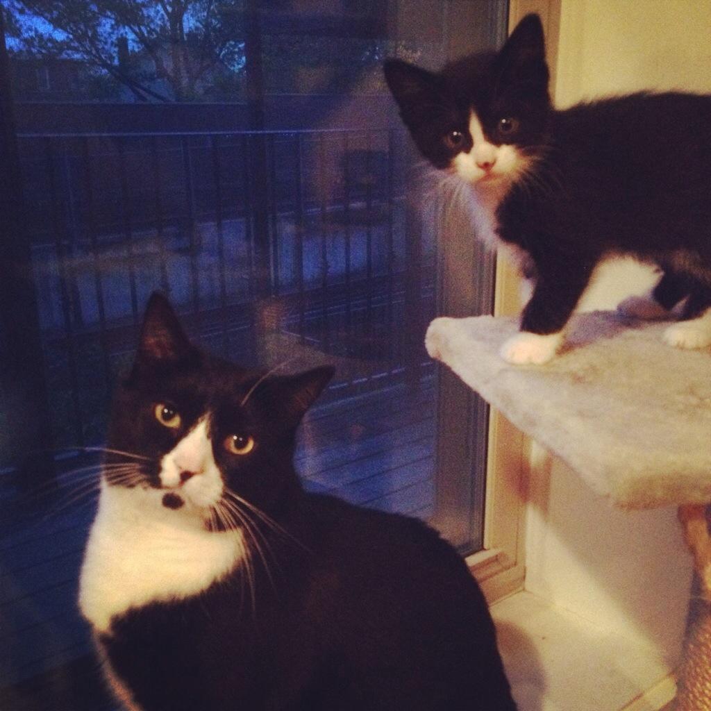 Large tuxedo cat with small tuxedo kitten
