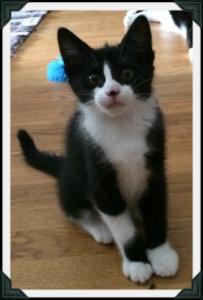 Small tuxedo cat