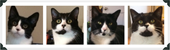 Photo collage of 4 tuxedo cats