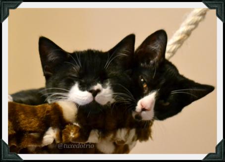 Two tuxedo kittens sleep in cat tree basket