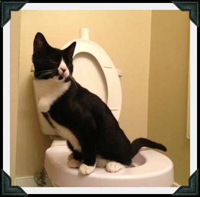 Tuxedo cat on toilet