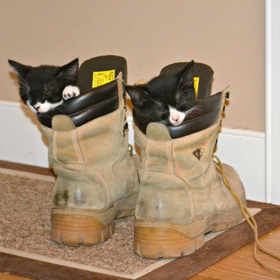 Tuxedo kittens asleep in two construction boots