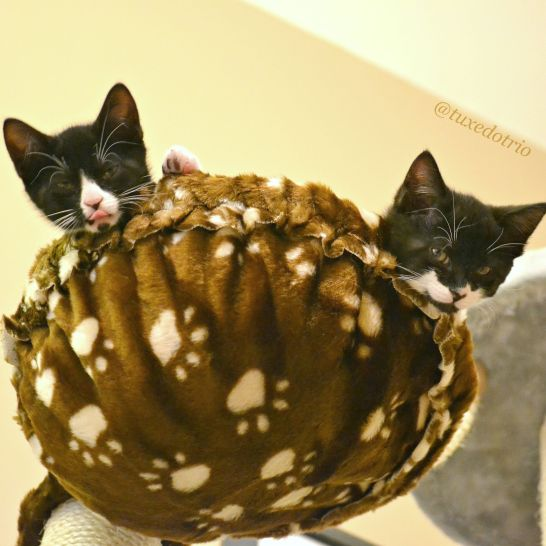 Two tuxedo kittens playing in basket