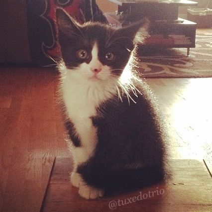 Small tuxedo kitten with wide eyes