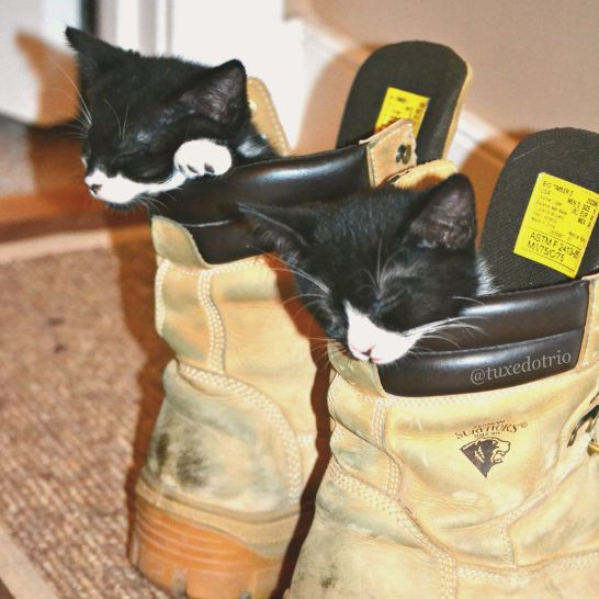Two tuxedo kittens sleeping in construction boots