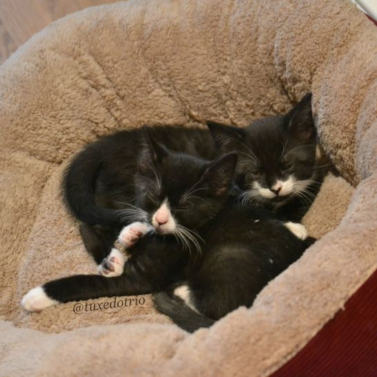 Tuxedo kittens sleeping together
