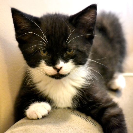 Small tuxedo kitten looking at camera