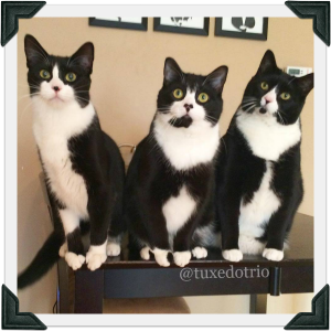 Three cats sit on table posing for photo