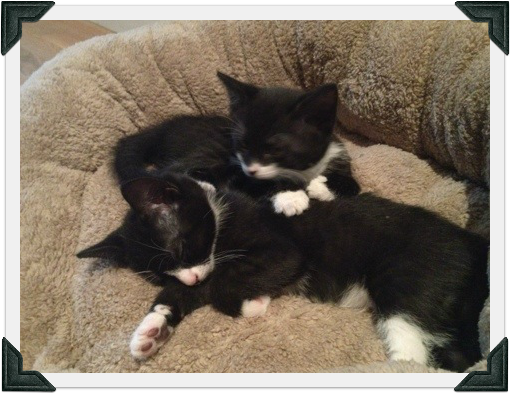 Two tuxedo kittens sleeping together