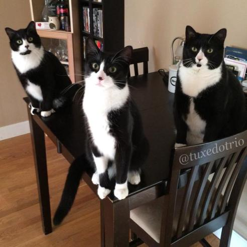 Three cats sit on a kitchen table