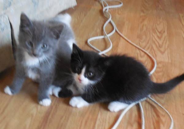Two small kittens, one gray and one black and white
