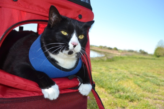 Cat sitting in harness in stroller outdoors