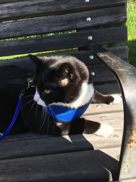 Cat in harness on park bench