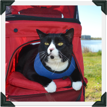 Tuxedo cat wearing a harness in a stroller outdoors